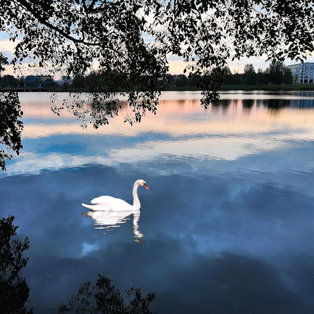 Järvimaisema Töölönlahdelta, vedessä ui joutsen.
