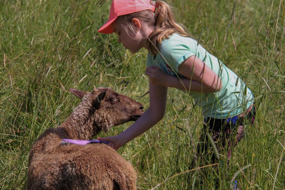 Pks4H:n Skatan eläinleirillä hoidetaan lampaita ja muita eläimiä.