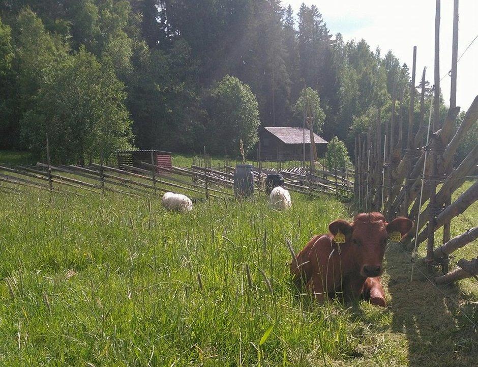 Ola ja lampaat laitumella nauttimassa kesäpäivästä