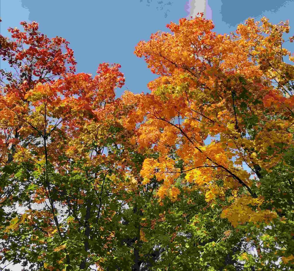 Isoja vaahtera-puita ruskan väreissä, keltaista, punaista, oranssia ja vihreää