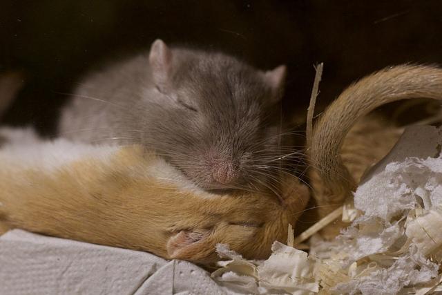Totutus on yleens onnistunut, kun gerbiilit vetäytyvät nukkumaan yhdessä. Kuva: Viivi Välimäki