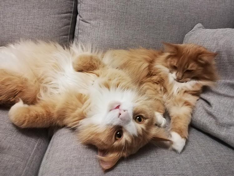 Kissakahvilan kissat makailevat sohvalla.