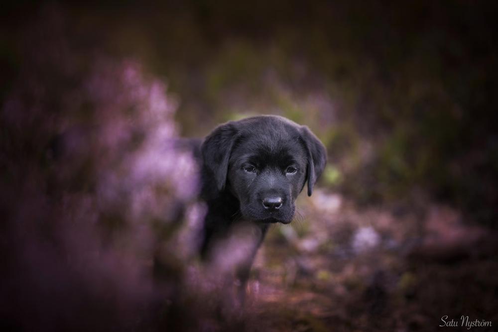Kuva on syksyinen ja pensaan takaa kurkistaa pieni musta labradorinnoutaja pentu Hulda.
