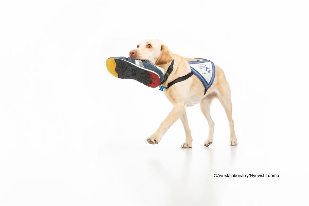 Kuvassa on vaalea labradorinnoutaja joka kävellessä kantaa kenkää suussaan. Koira on avustajakoira ja sillä on sinivalkoiset avustajakoiraliivit päällä.