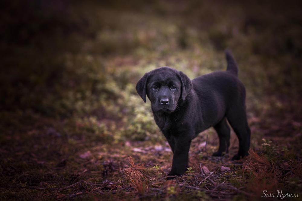 Kuva on syksyinen. Kuvassa on on pieni musta Hulda labradorinnoutaja joka seisoo sivuttain kuvassa.
