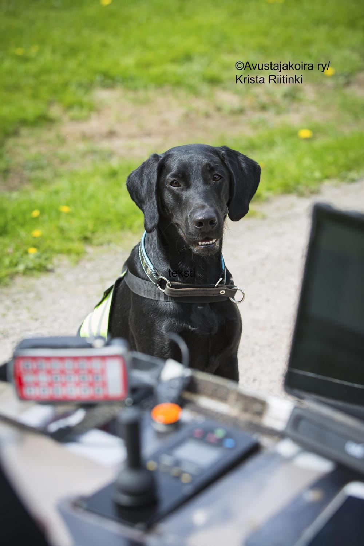 Musta labradorinnoutaja Ässä istuu sähköpyörätuolin vieressä.