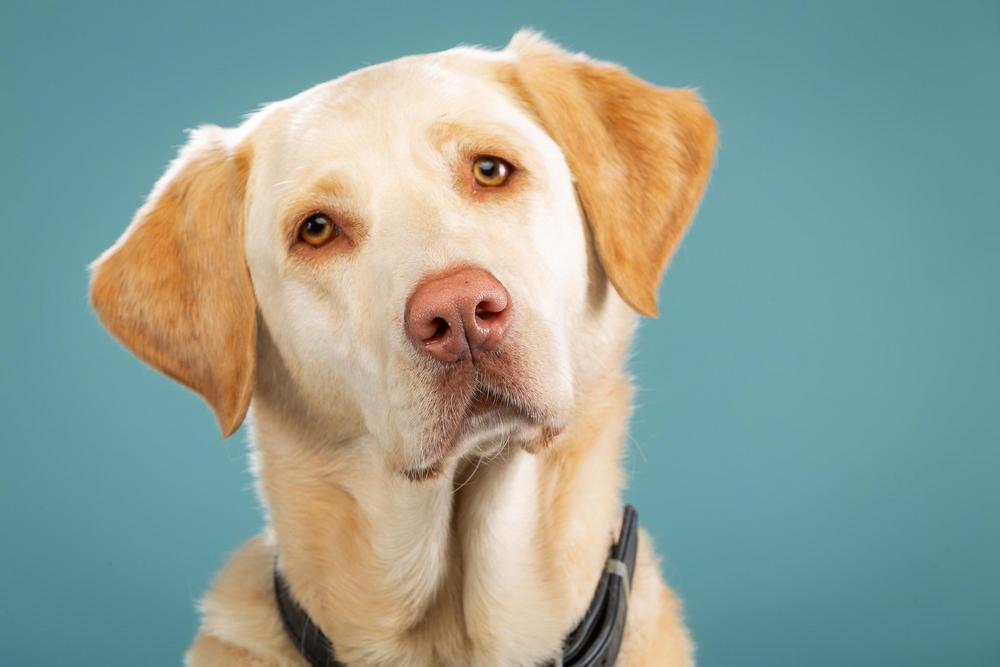 Lähikuva vaaleasta labradorinnoutajan päästä. Koira katsoo kauniisti vaalen ruskeilla silmillään kallistaen päätään vasemmalle. Koiralla on vaalenpunainen kirsu.