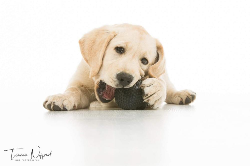 Keltainen labradorinnoutajapentu syö lattialla palloa.