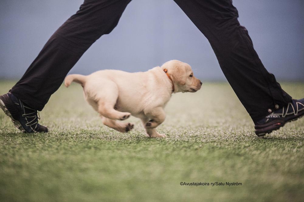 Kuvassa on vaalea pieni labradorinpentu joka juoksee henkilön jalkojen välissä koirahallissa. Koiran nimi on Hali ja se on aputassuoppillas.