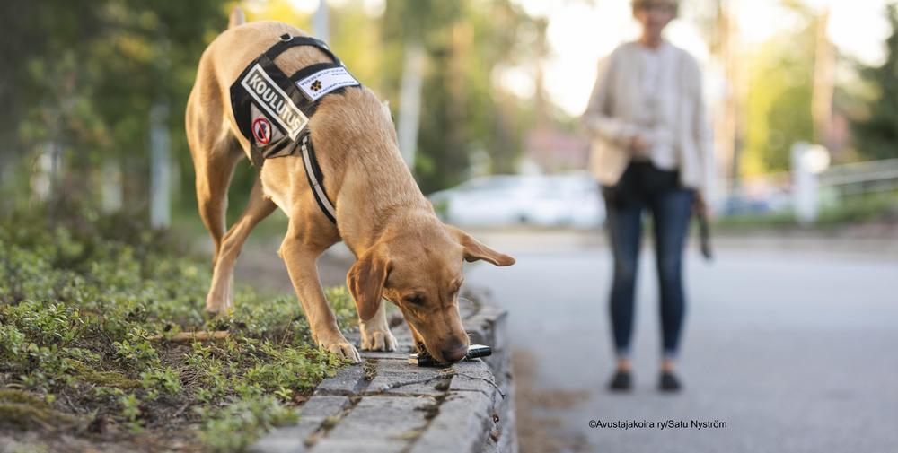 Kuvassa etualalla on vaalean keltainen labradorinnoutaja. Koira noutaa puhelinta muurin päältä ohjaajalleen joka seisoo kauemapana koiran takana.