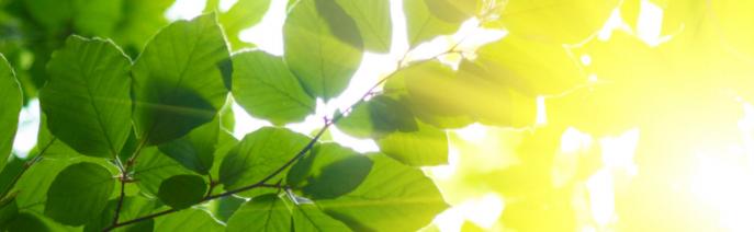 Lepän oksia ja lehtiä, joiden läpi auringonvalo siivilöityy.