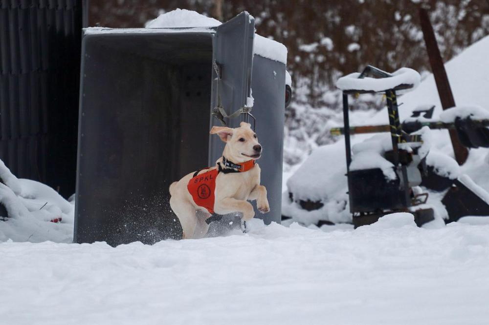 Labradorinnoutaja hakutreeneissä