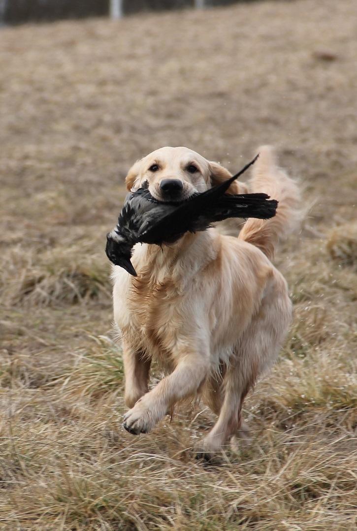 Nuorten koirien katselmuksessa tarkastellaan rodunomaisia taipumuksia ja työskentelyä.