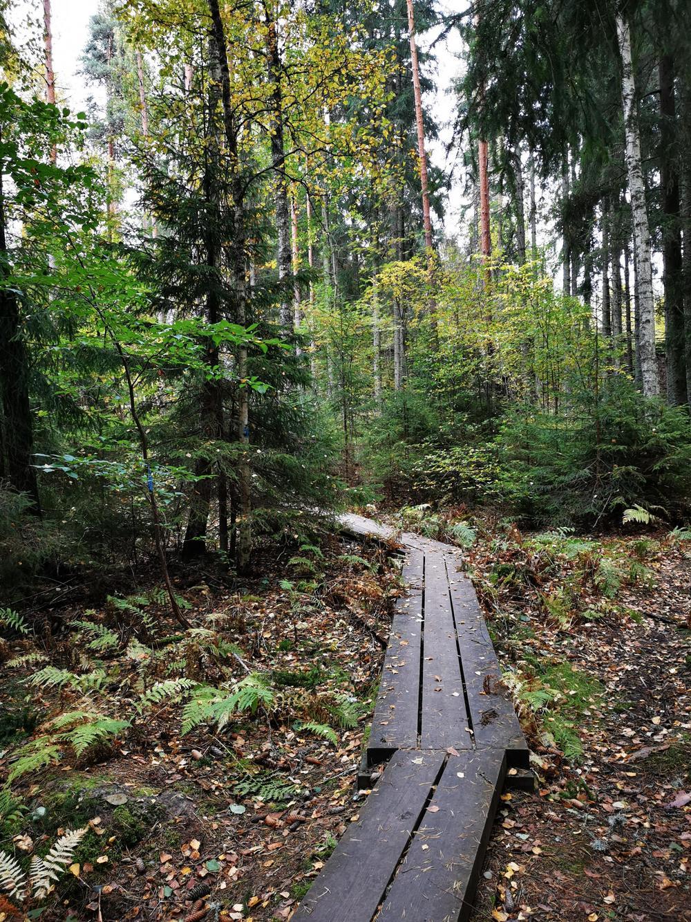 Kouvolan Anjalassa sijaitsevan Känkkärän luontopolun pitkospuut kääntyvät metsässä loivasti vasemmalle häviten puun taakse.