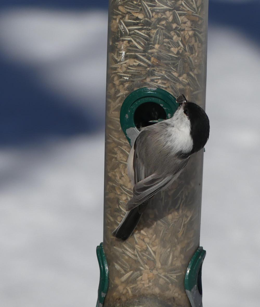 Hömötiainen on lintulaudan peloton vierailija.