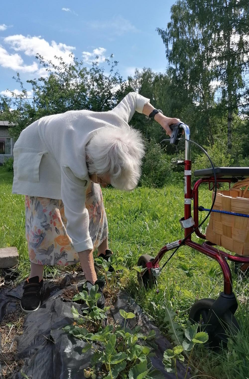Liisa kitkemässä mansikkamaata.