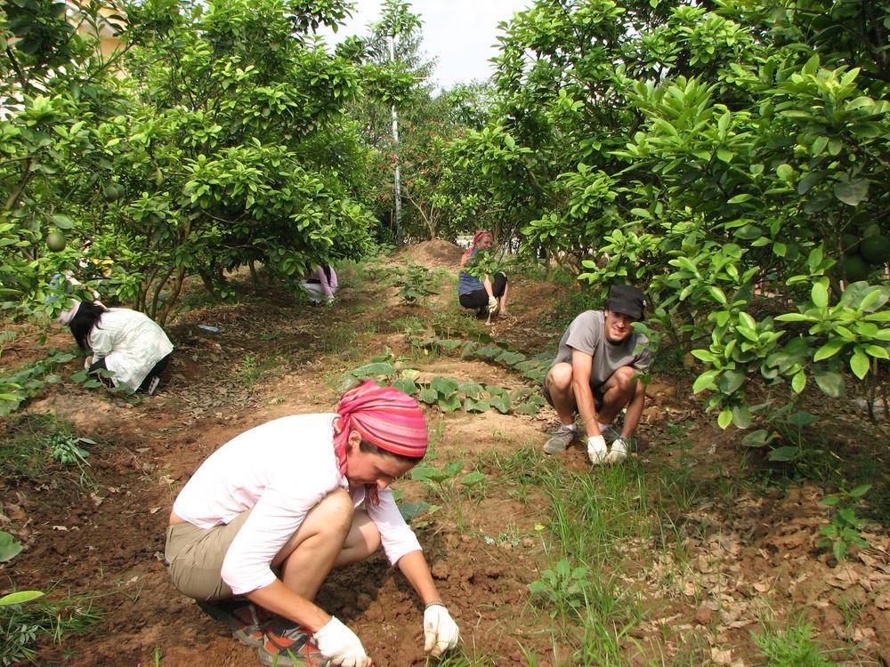 Viisi henkilöä kitkemässä puiden juurella.